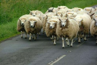 flock-of-sheep